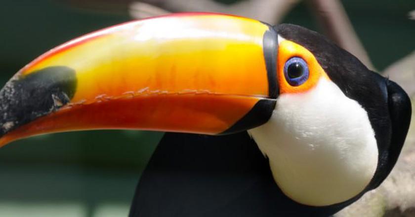 Toucan   © Iain A Wanless/Flickr