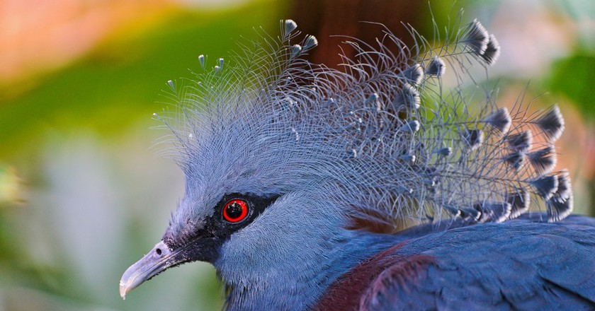 The Victorian Crown Pigeon with its feather crest   ©Tambako The Jaguar / Flickr
