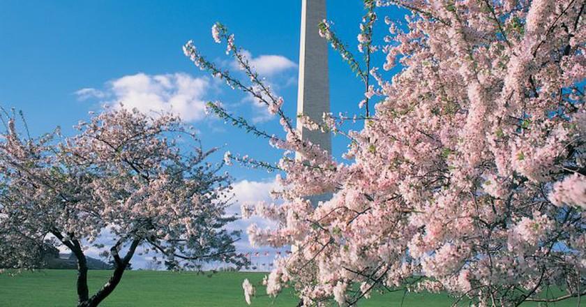 Cherry Blossoms and monuments are DC symbols Courtesy washington.org