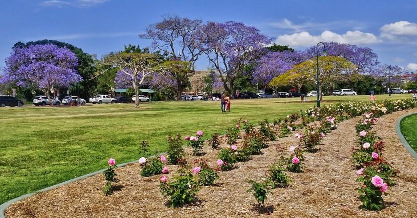 Jacarandas in New Farm Park © Tatters /Flickr
