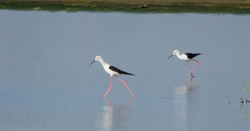 Black-winged stilts spotted   at Pambros salt ponds, Accra, Ghana | © René Mayorga / Flickr