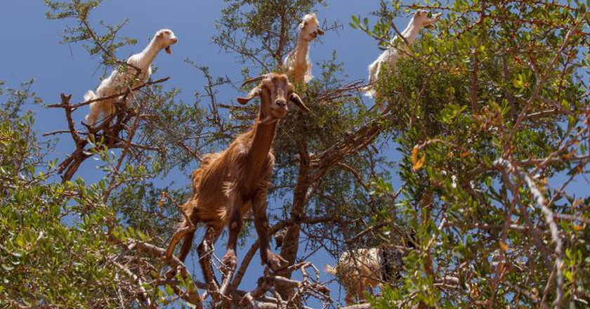 Goats peering out from the branches of an argan tree in Morocco |© www.twin-loc.fr / Flickr