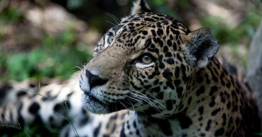 Jaguar   © Eduardo Merille / Flickr