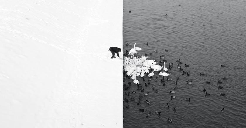 A Man Feeding Swans in the Snow   © Courtesy Marcin Ryczek