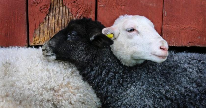 Black and white sheep | © Knarrhultpia/Pixabay