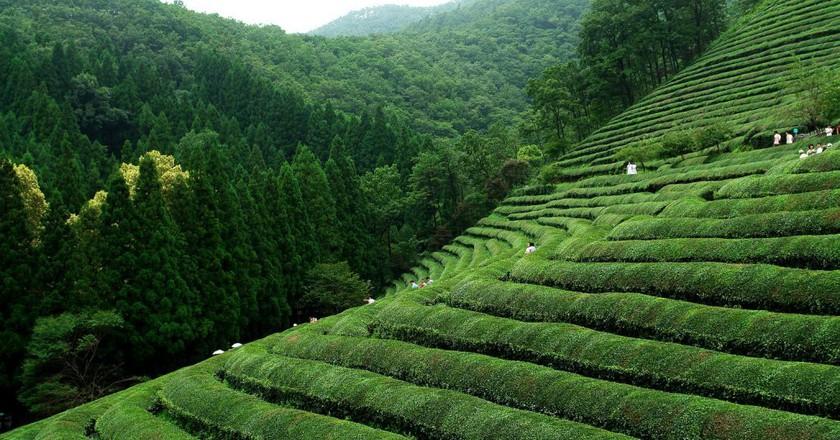 Boseong green tea fields   © Yeongcheol Lee / Flickr