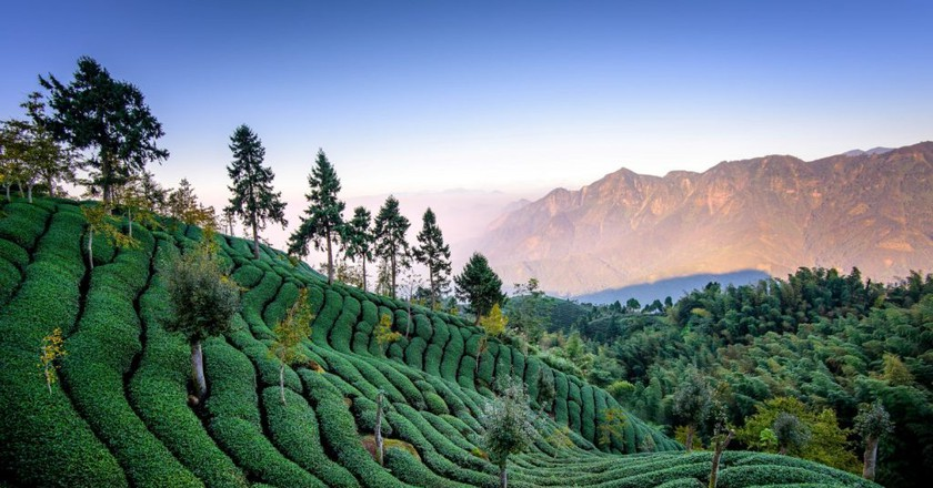 Tea Fields   © 白士 李 / Flickr