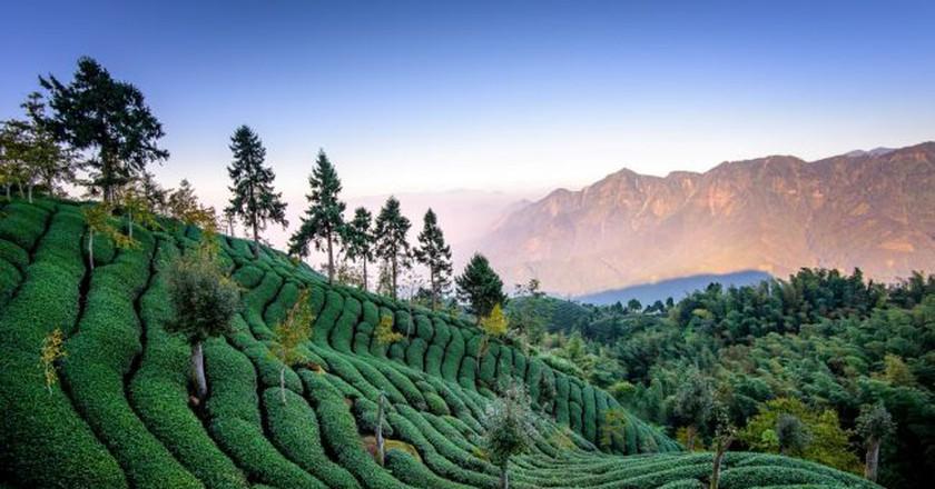 Tea Fields | © 白士 李 / Flickr