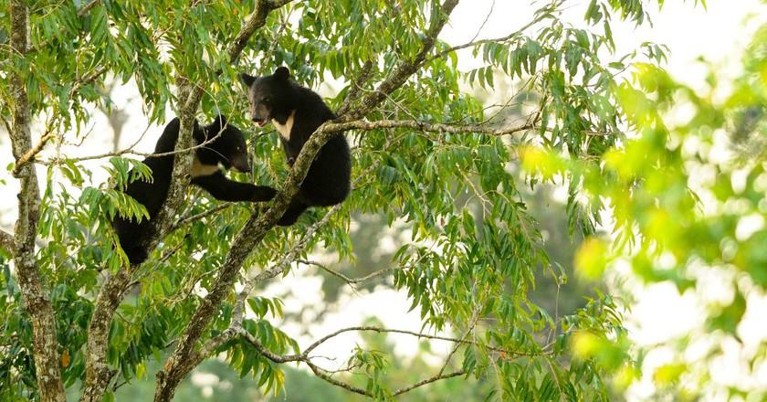 Asiatic black bear cubs   © tontantravel/Flickr