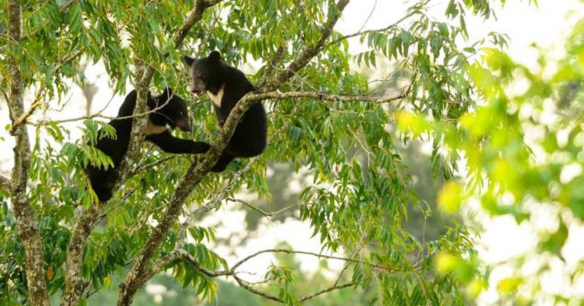 Asiatic black bear cubs | © tontantravel/Flickr
