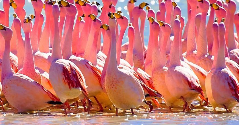 Andean Flamingo  | © Pedro Szekely/Flickr
