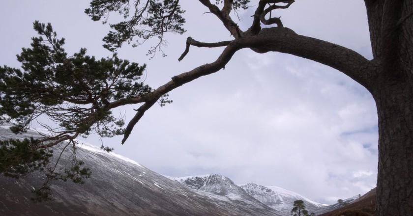 Scots Pine, Glen Derry   © GariochT/Flickr