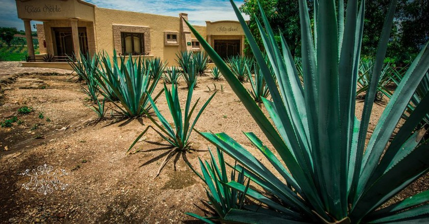 Blue agave plants in Tequila / MaxPixel