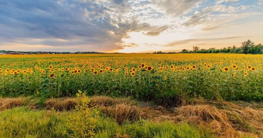 Hungary sunflower field   Pixabay