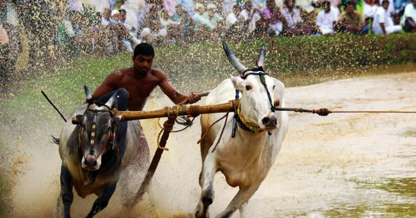 Bull Surfing in Kerala © Sameerct/ Wikimedia Commons