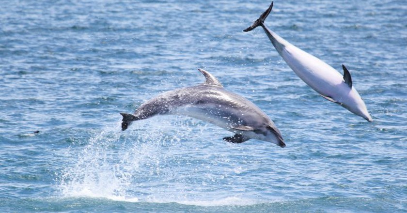 Dolphins in the Bay of Islands, New Zealand   © j.e.mcgowan/Flickr