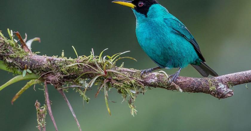 Green honeycreeper   © Andy Morffew/Flickr