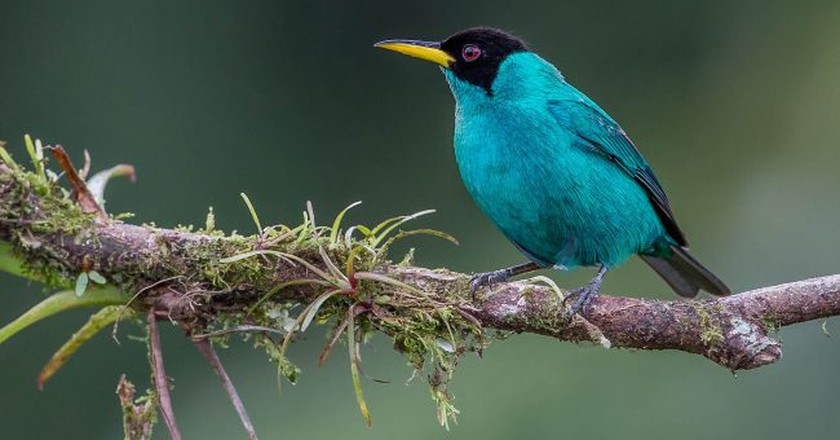 Green honeycreeper | © Andy Morffew/Flickr