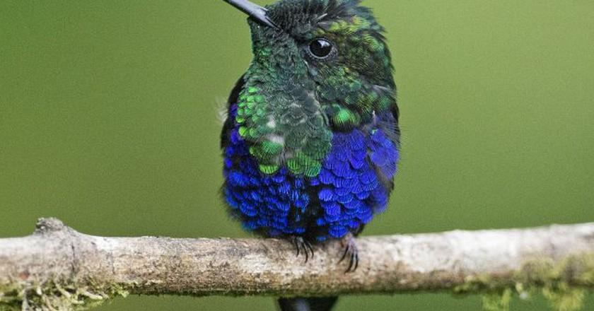 Green Crowned Woodnymph Hummingbird, Milpe, Ecuador | © Lip Kee / Flickr