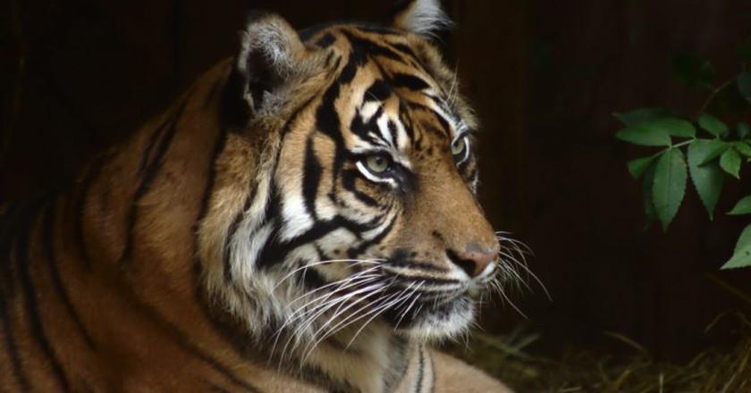 Tiger   ©Damian Moore/ Flickr