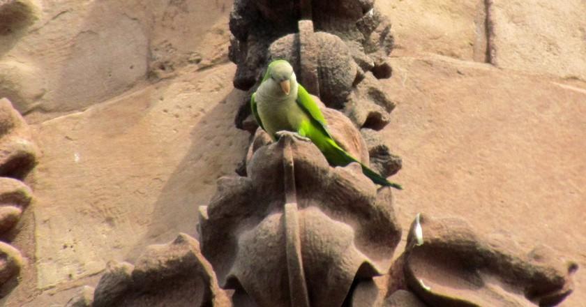 Green Parrot - Green-Wood Cemetery, Brooklyn   © David Berkowitz/Flickr