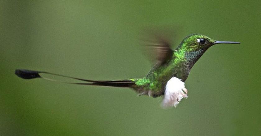 Booted Racket-tail, Tandayapa   © Lip Kee / WikiCommons