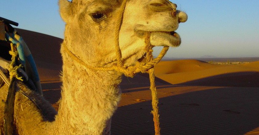 Camel in Morocco | © Carlos ZGZ / Flickr