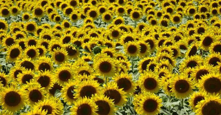 A sunflower field near Loreto   © Vy Dan Tran
