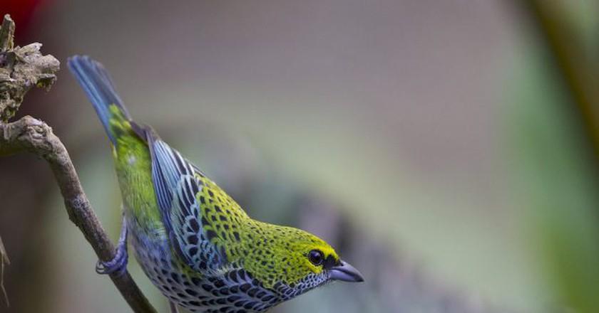 Bellisimo birdie ©Gregory Smith/Flickr