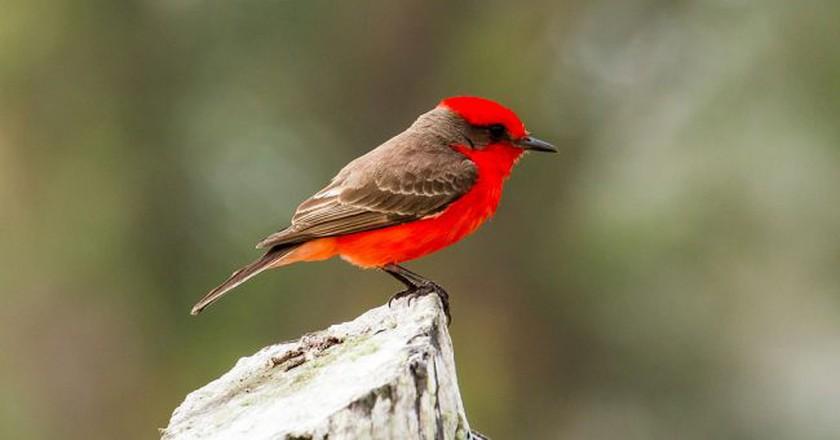 Vermilion Flycatcher   © James Diedrick / WikiCommons