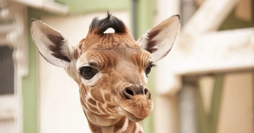 A young giraffe at Artis | © Kitty Terwolbeck / Flickr