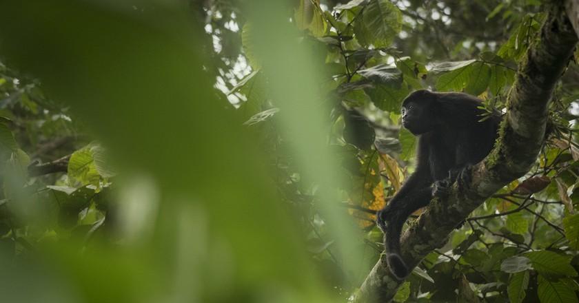 Howler Monkey | ©Sebastian Di Domenico /Flickr