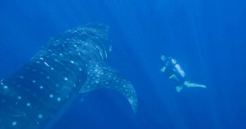 Whale shark diving in Papua   ©Marcel Ekkel / Flickr