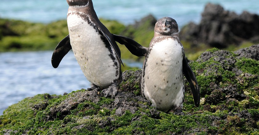 Galapagos Penguins   ©zpics /Flickr