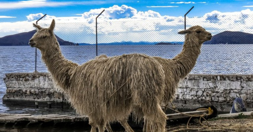 Llamas at Lake Titicaca | © Matthew Straubmuller/Flickr
