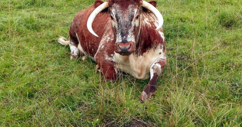 Longhorn cattle | ©Peter O'Connor / Flickr