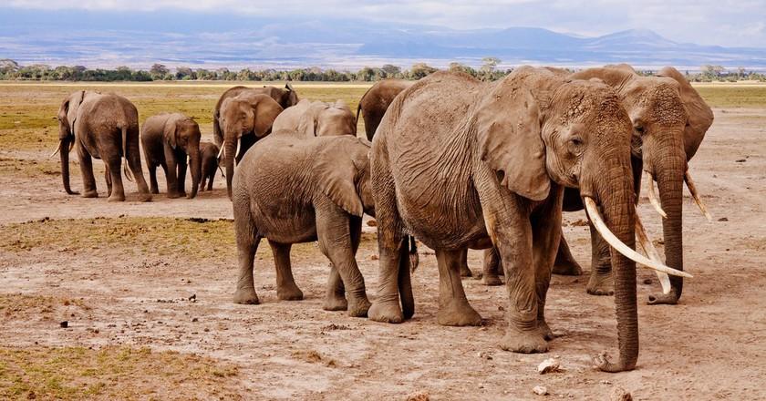 Kenya elephants   © Poswiecie