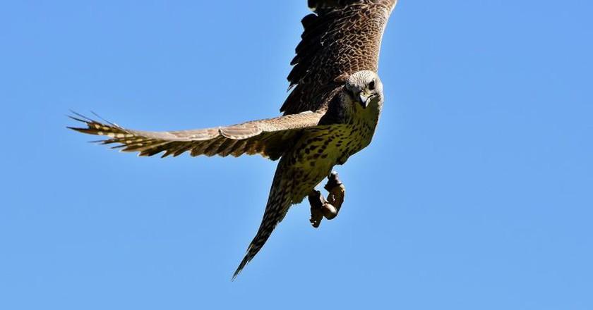 A soaring falcon