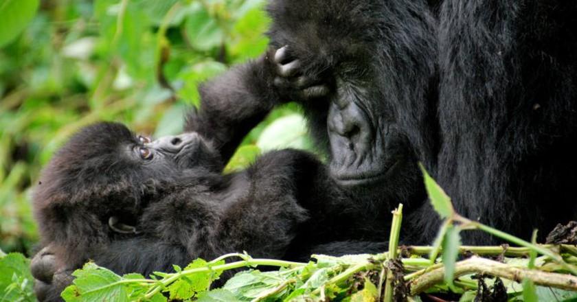 Gorillas in Volcanoes National Park   © Carine06 / Flickr