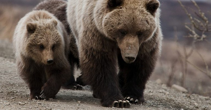 """<a href=""""https://www.flickr.com/photos/denalinps/5728173840/"""" target=""""_blank"""" rel=""""noopener noreferrer"""">Grizzly bears 