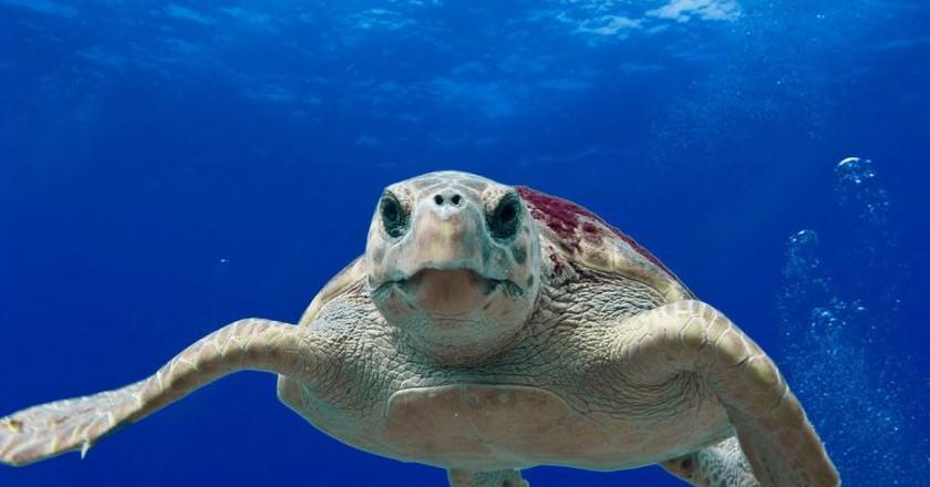 Loggerhead sea turtle  | ©  PixaBay