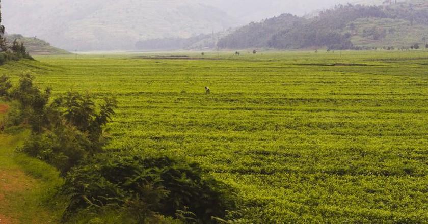 Sorwathe tea fields | © Nick Fraser / Flickr