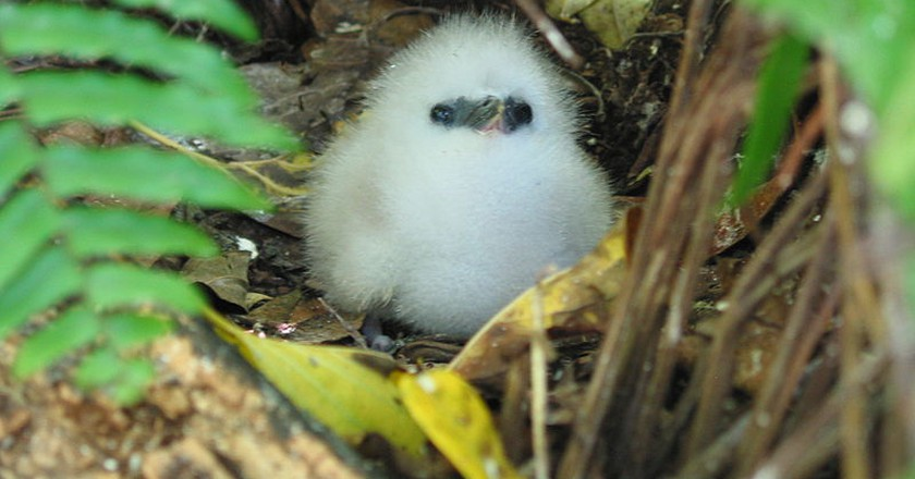White Tropic Bird on Cousin Island, protected thanks to the work of Nature Seychelles  © fred_pnd / Wikipedia