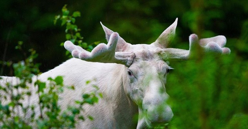 "<a href = ""https://commons.wikimedia.org/wiki/File:White_moose.jpeg""> Swedish White Elk"