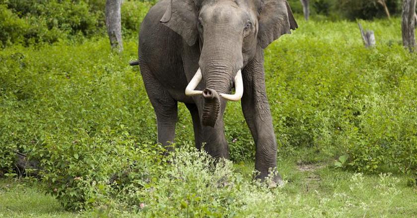 Indian elephant   Yathin S Krishnappa/WikiCommons