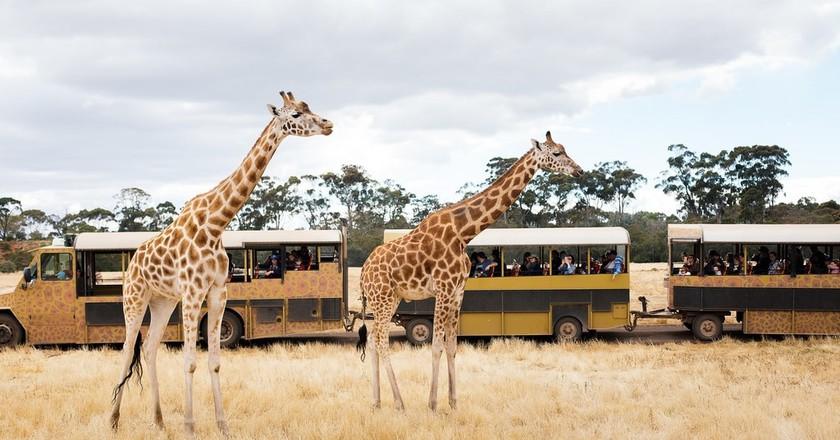 Safari tour bus with giraffe courtsey of Werribee Open Range Zoo