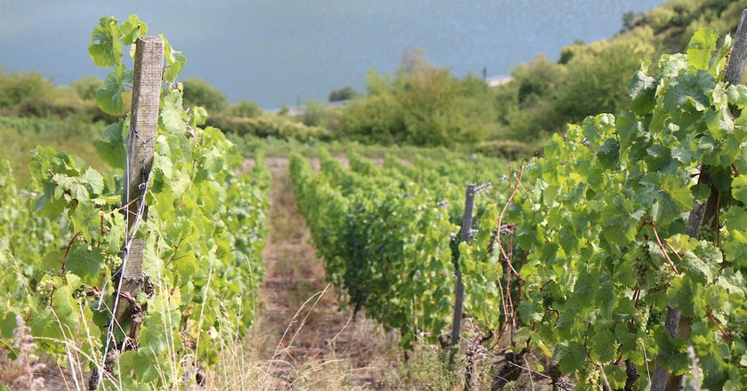 Vines in the Moselle region   © Real Name Given/Flickr