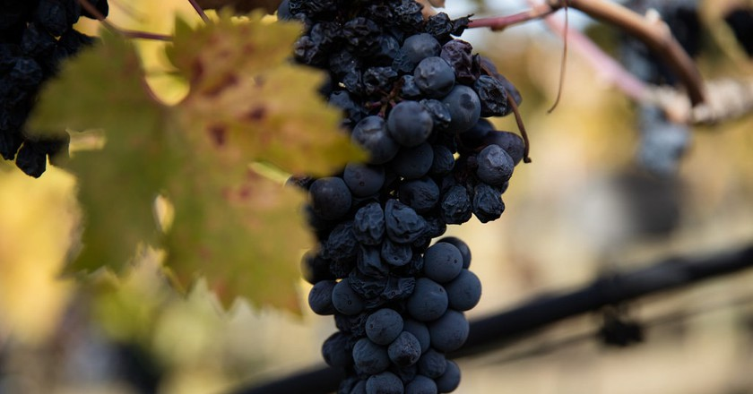 Shriveled wine grapes on the vine | © WineCountry Media / Flickr