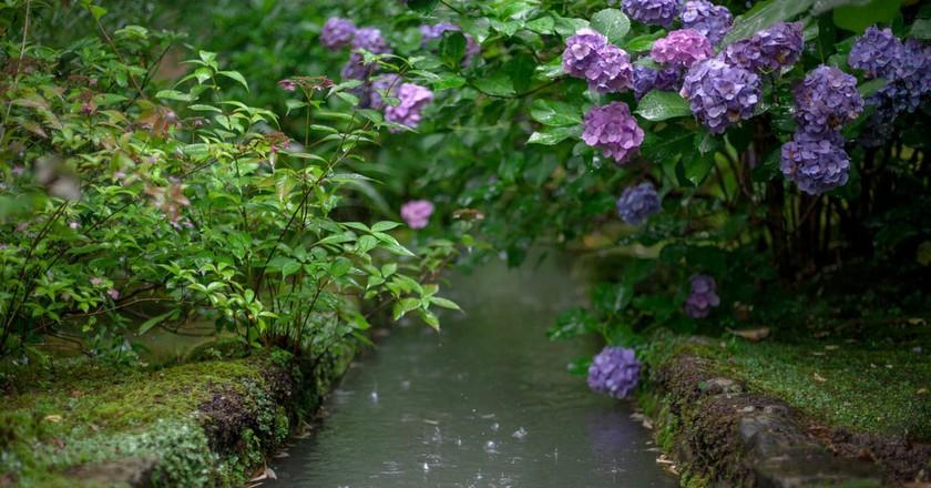 Hydrangeas in bloom in early summer | © George Alexander Ishida Newman/Flickr