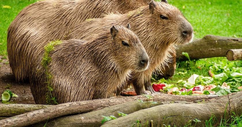 Capybaras | © schuetz-mediendesign / Pixabay